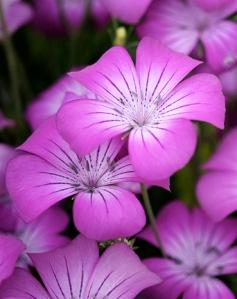 Agrostemma githago 'Milas' Source: Annie's Annuals