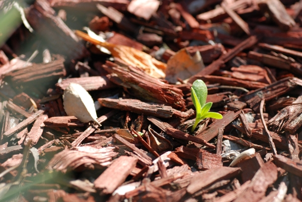 Self-sowed seedling of African daisy