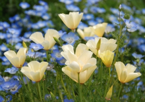California poppy 'Alba' Source: Annie's Annuals