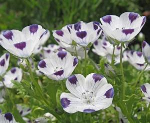 Nemophila maculata 'Baby Five Spot' Source: Annie's Annuals