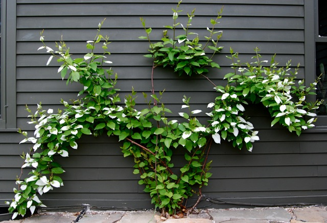 Espaliered kiwis Source: A Way to Garden