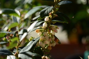 Hope in the form of blueberry flowers
