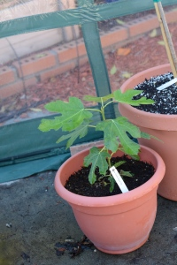 Young potted Petit Negri fig tree inside the greenhouse