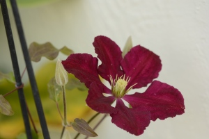Clematis Niobe in bloom in winter